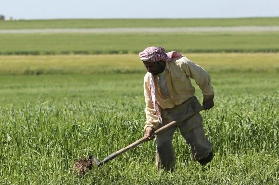 الحكومة السورية ترفع أسعار القمح لتعويض المزارعين