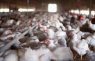 الكويت تحظر استيراد لحوم الطيور من السعودية