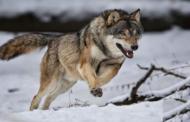 ذئب ينقض على